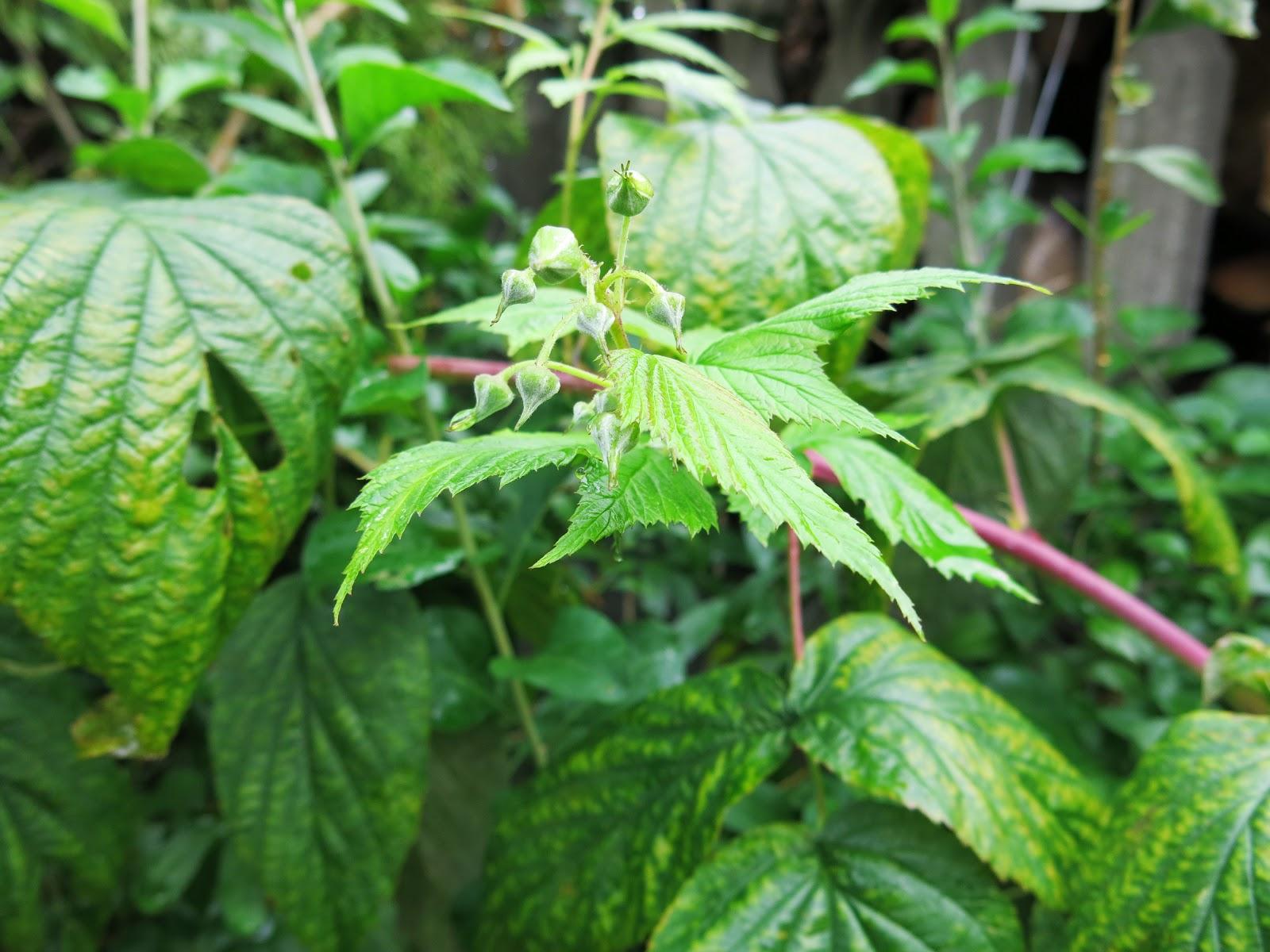 Ziołowe porady: Malina - herbata z liści malin.