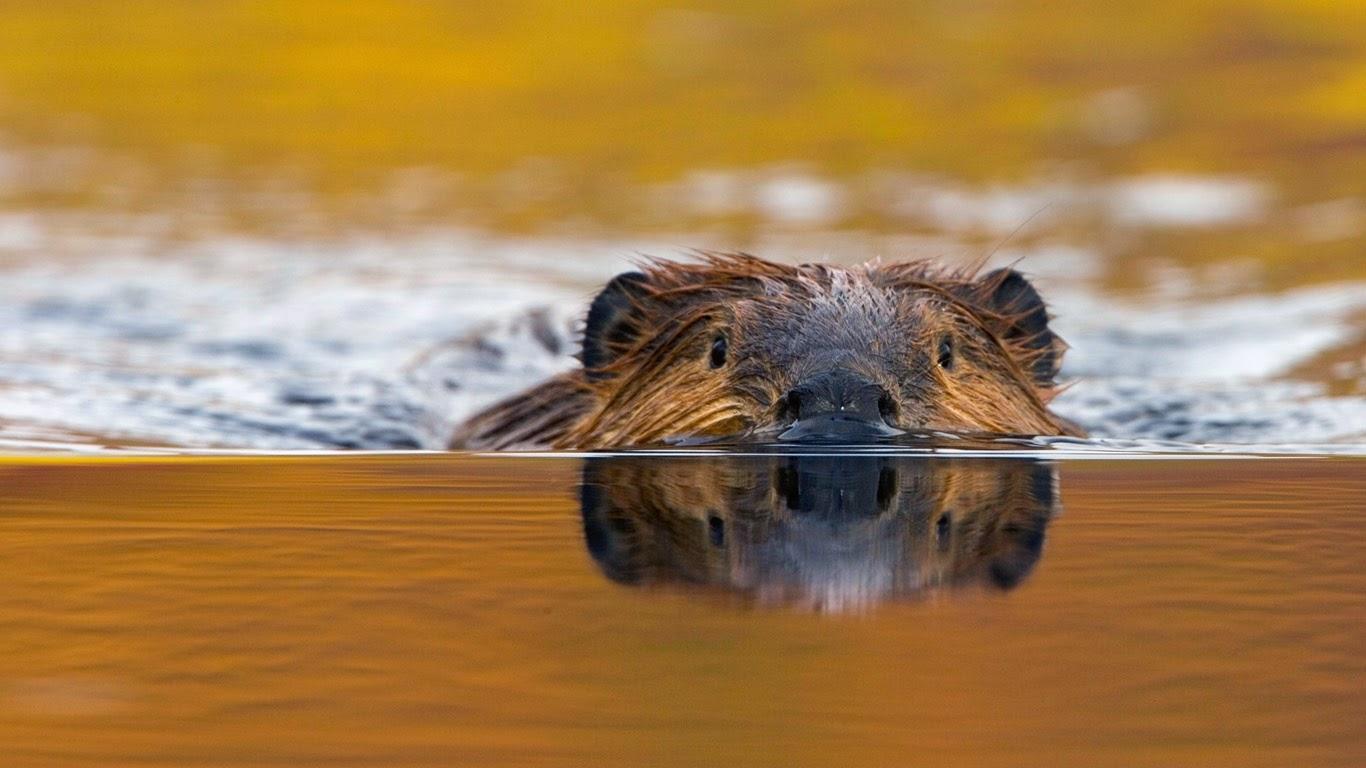 North American beaver in Denali National Park, Alaska (© Eastcott Momatiuk/Masterfile) 273