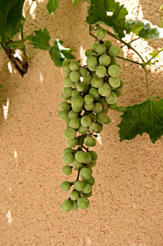 bunch of green grapes on a vine