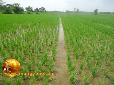 FOTO : Menanam  padi dengan jajar legowo.