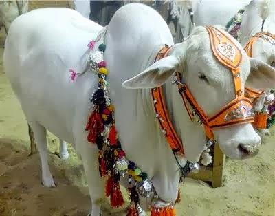 (Eid ul Adha) Bakra Eid Cow Qurbani 2013 - Rawalpindi