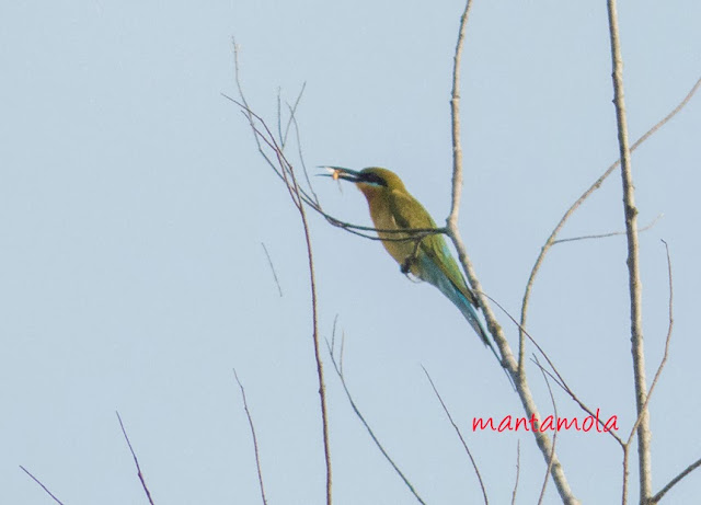 Blue-Tailed Bee-Eater( Merops philippinus)
