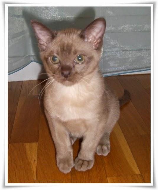 Burmese Cat