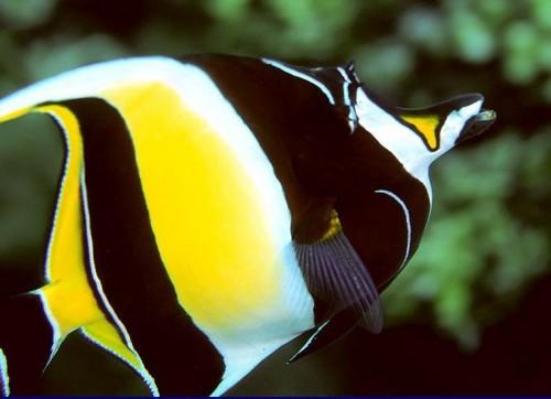 Most amazing moorish idol fish for Moorish idol fish