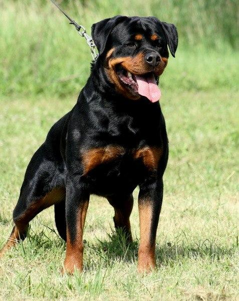 Doberman Greyhound Cross Dog Breeds Picture | Dog Breeds Picture