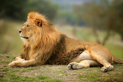 León - Rey de la Selva - Felinos salvajes - Animales muy hermosos de la sabana