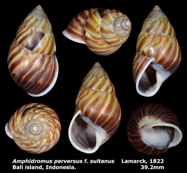 Amphidromus perversus f. sultanus 39.2mm