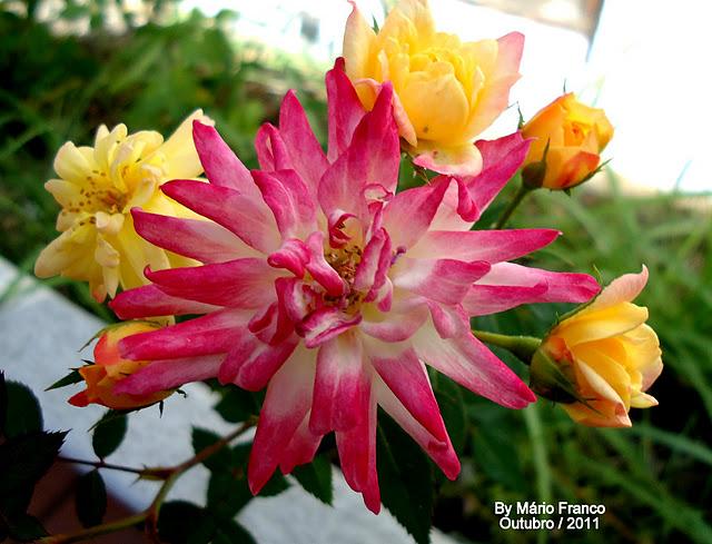 Amado Meu Cantinho Verde: MINI-ROSA - ( Rosa x chinenensis ) CS06