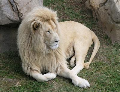 león blanco acostado en el pasto