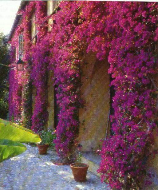 сальвия хорминумовая фото цветов рассада