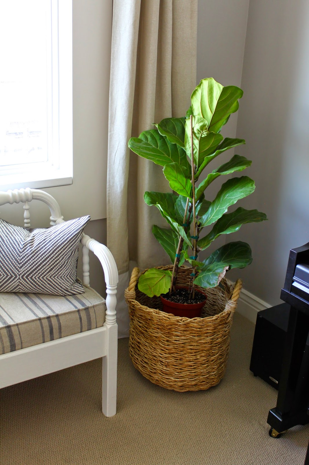 back in may i mentioned in this post that i wanted a fiddle leaf fig for my corner basket i finally found one that was a good size for a great price