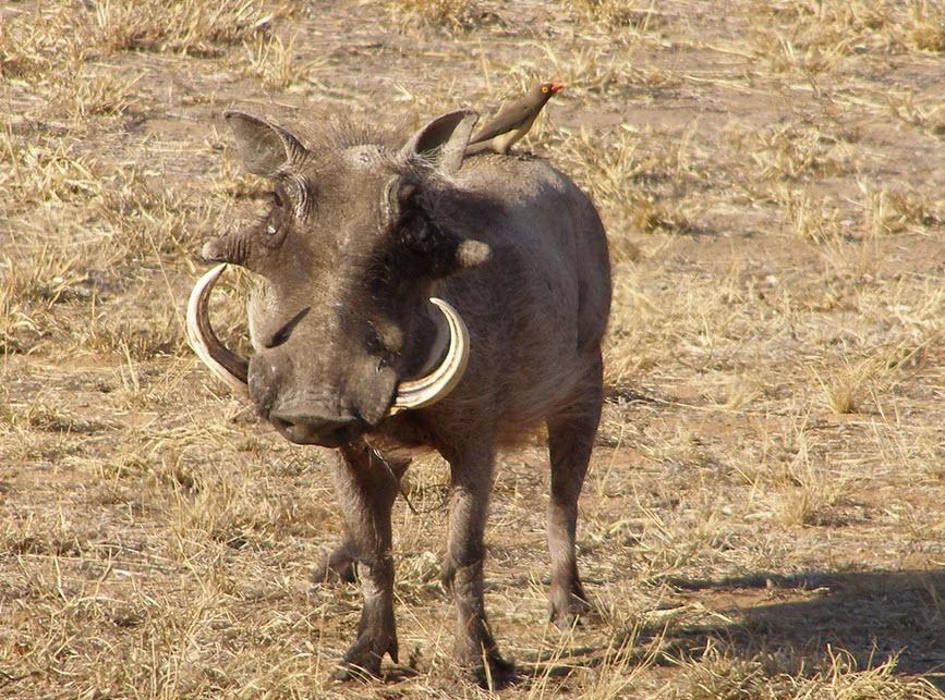 Warthog | The Biggest Animals Kingdom