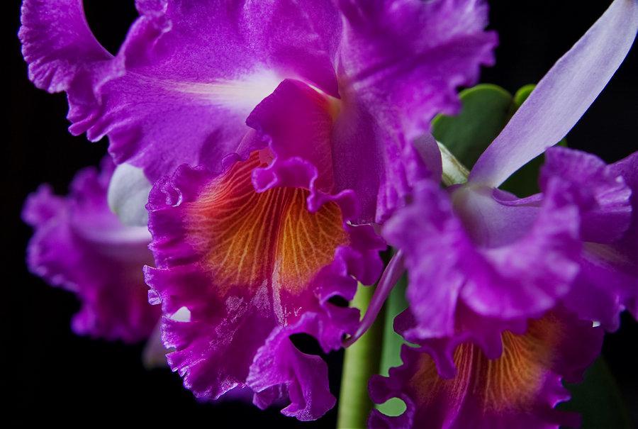 Cattleyas beautiful orchid flower home for Orchidea cattleya