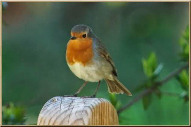 Atrae pajaros a tu jardin dreams gardens for Aves de jardin