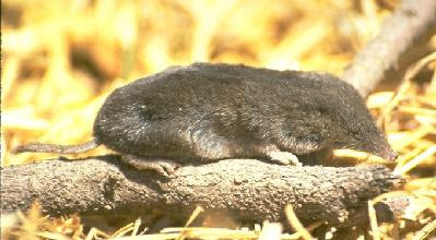 least shrew Cryptotis parva