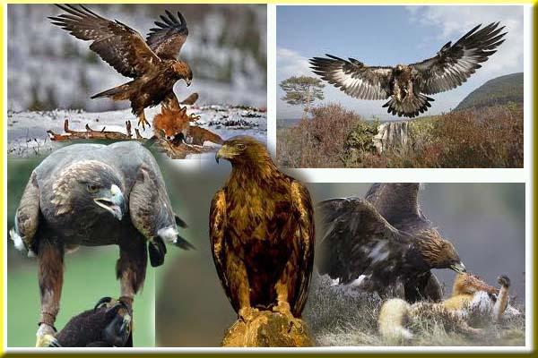 gambar_gratis_burung_elang_emas