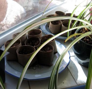 toilet paper tube seed starter pots