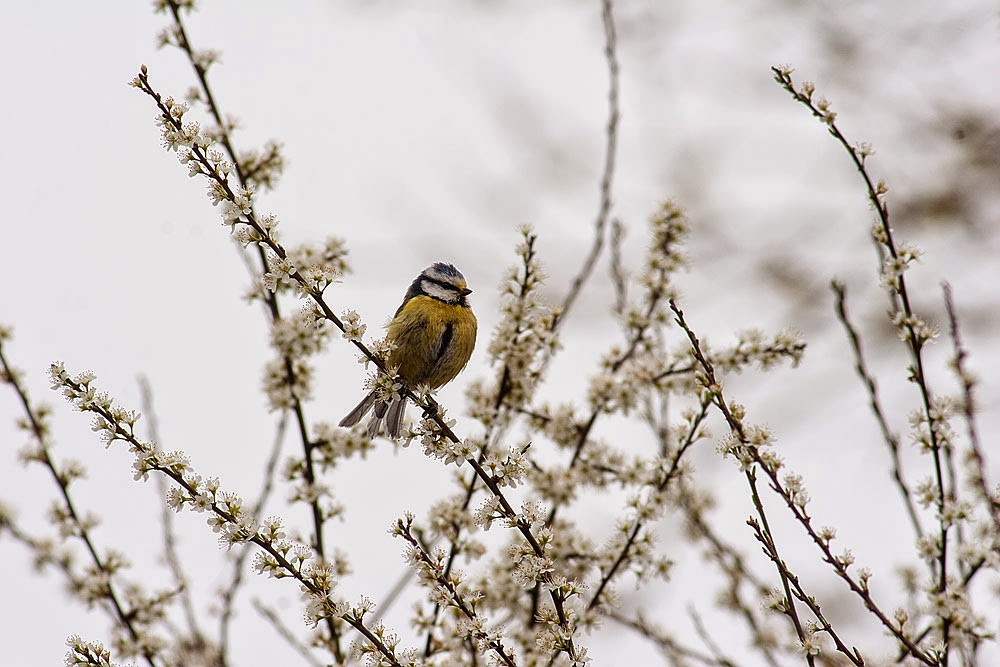 Blue Tit - Loughton Valley Park, Milton Keynes 2014