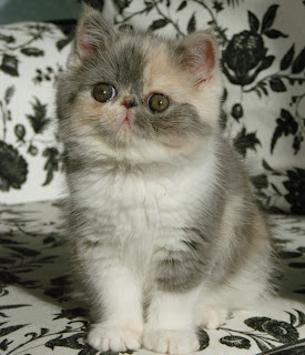 Most Famous Exotic Shorthair Names
