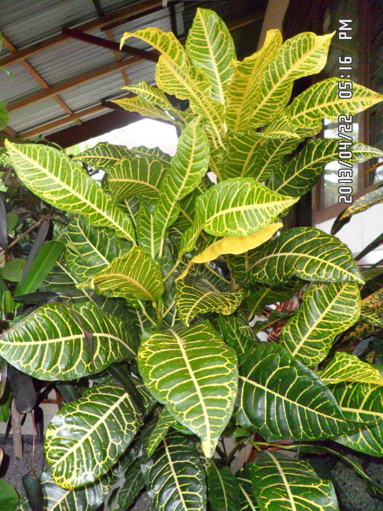wisata fotografi jenis jenis tanaman puring impor