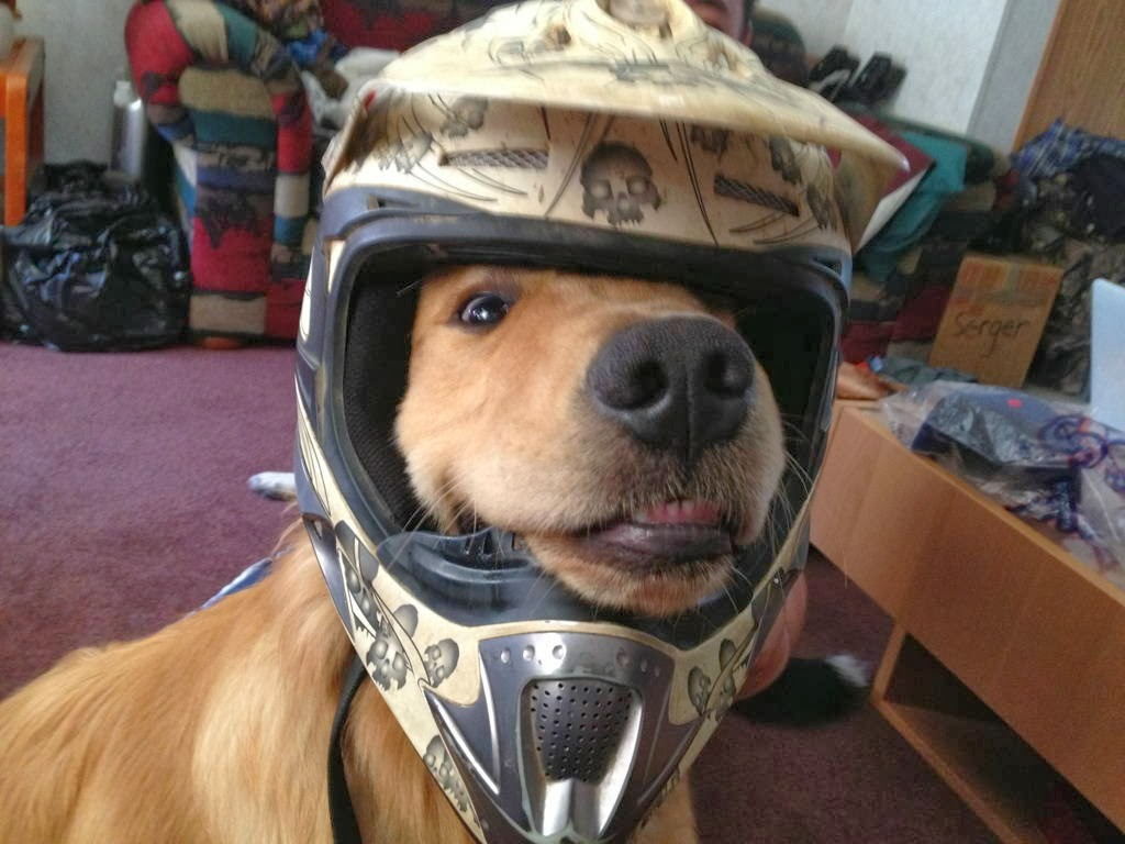 Cute dogs - part 11 (50 pics), dog wears helmet