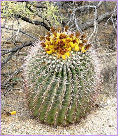 Leaning Barrel Cactus Barrel Cactus Part 1
