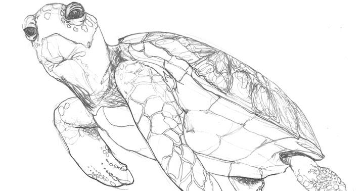 jewel renee illustration sea turtle drawing
