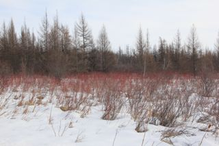 photo of red osier dogwood