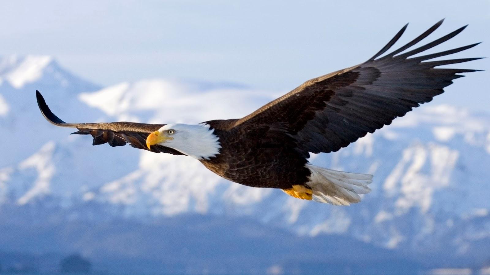 Flying Bald Eagle Flight