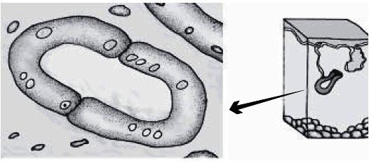 Gambar 3. Epitel kelenjar eksokrin pada kelenjar keringat