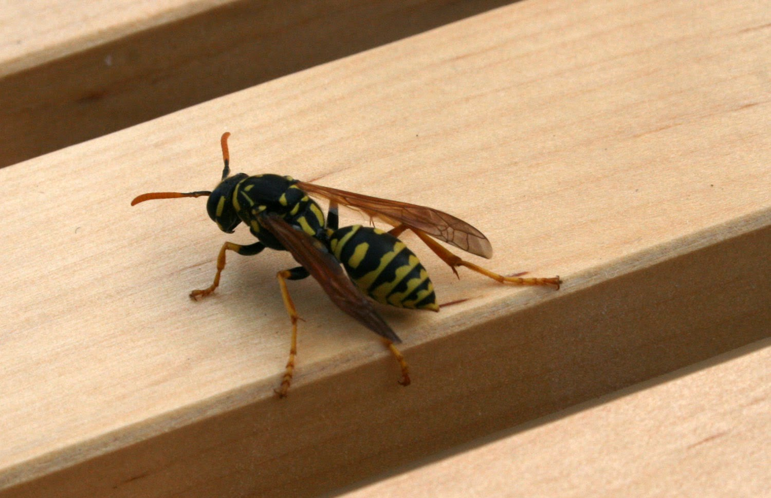 The wasp on the table