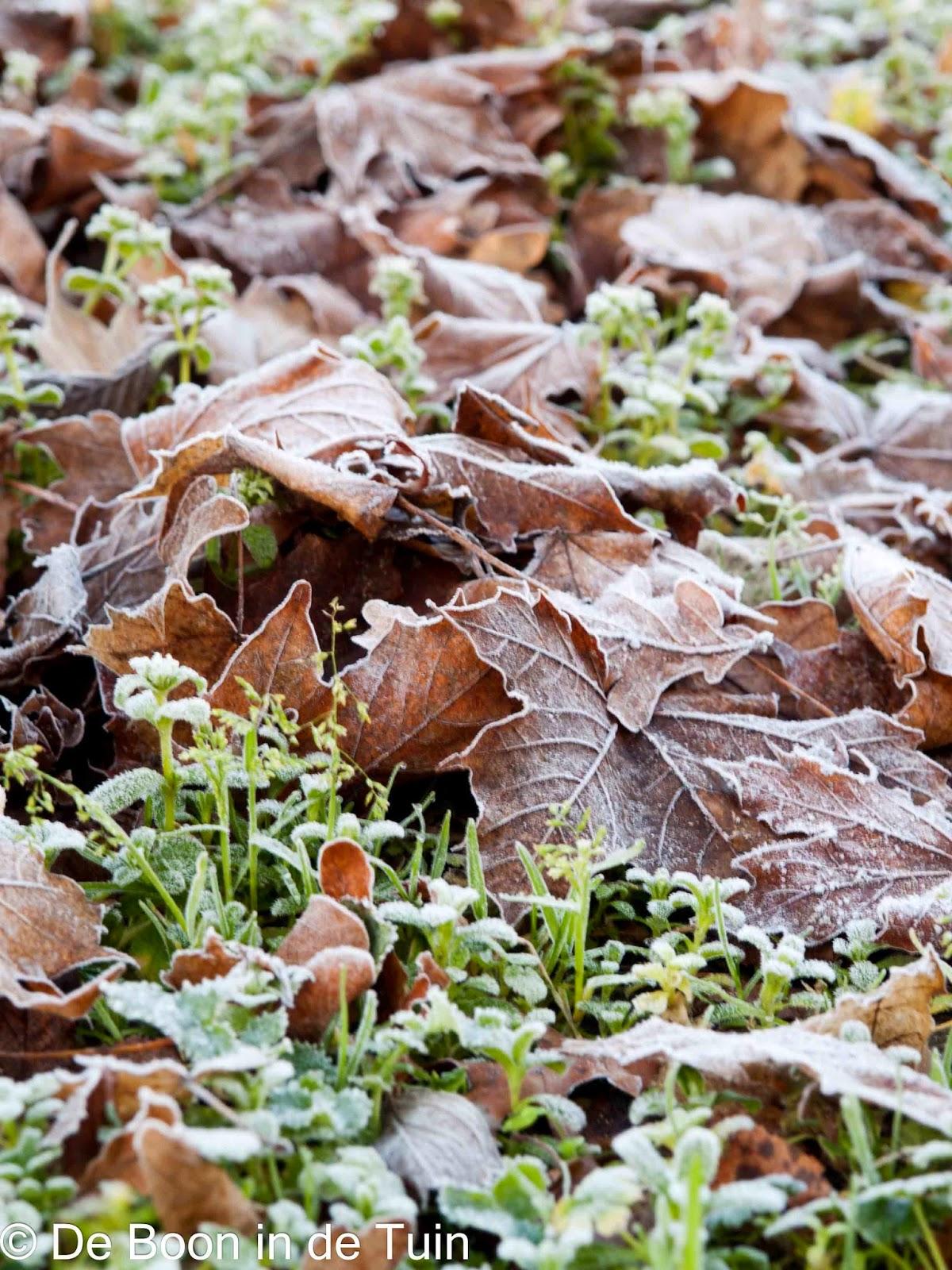 blad bladeren rijp vorst moestuin volkstuin januari
