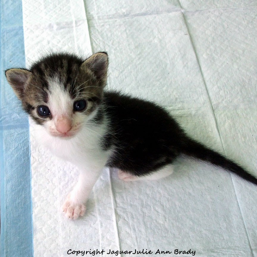 black and white with gray tabby smaller kitten for adoption