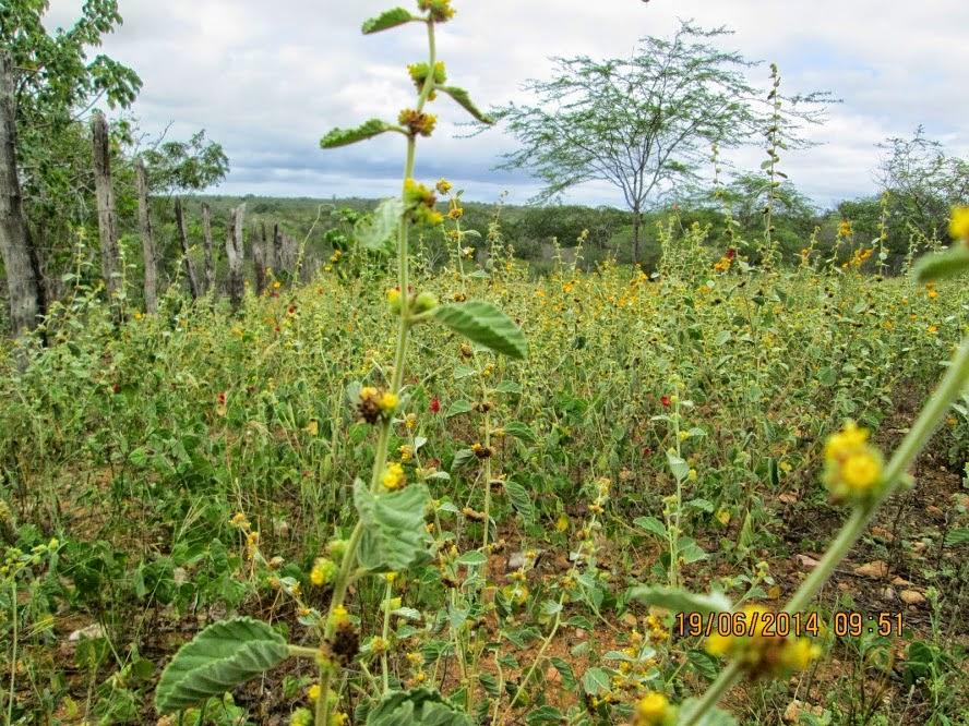 Flores de malva,ótima produtora de mel!