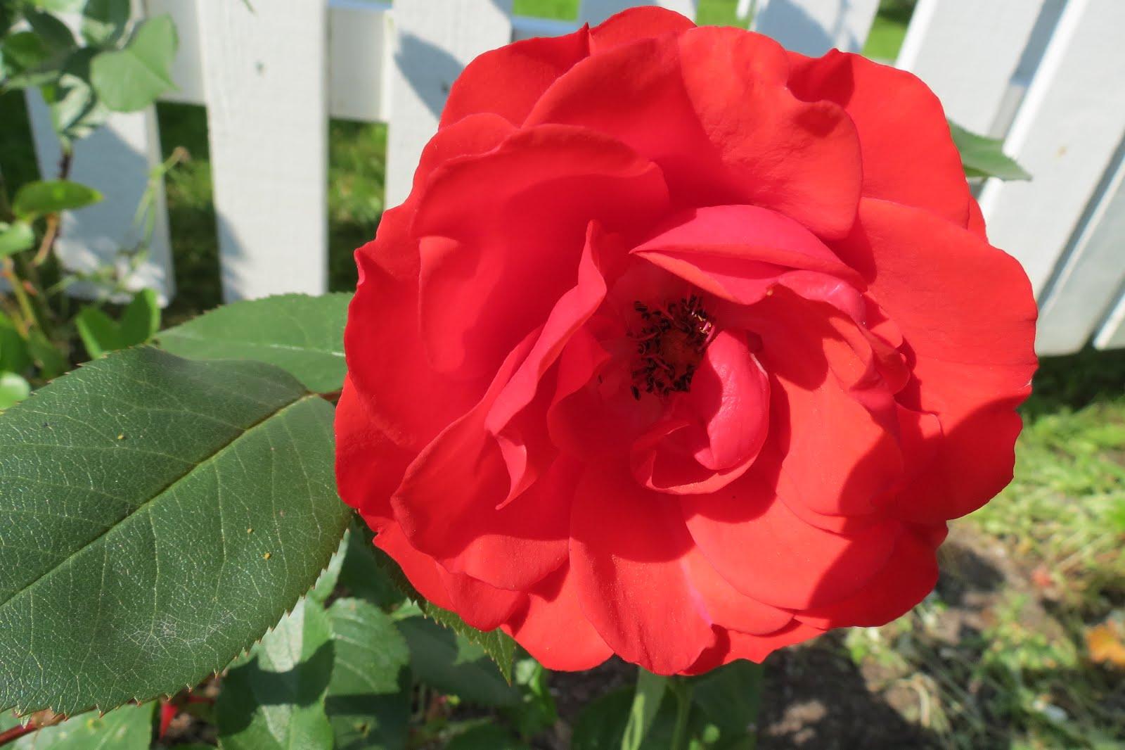 Rosa Allotria