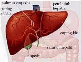 gambar hati manusia dan bagian-bagiannya