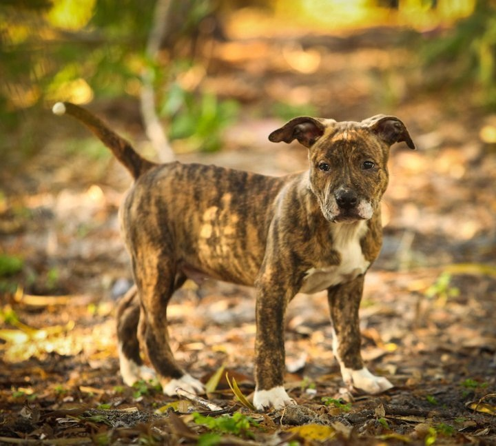 Brindle Colored Dog Breeds
