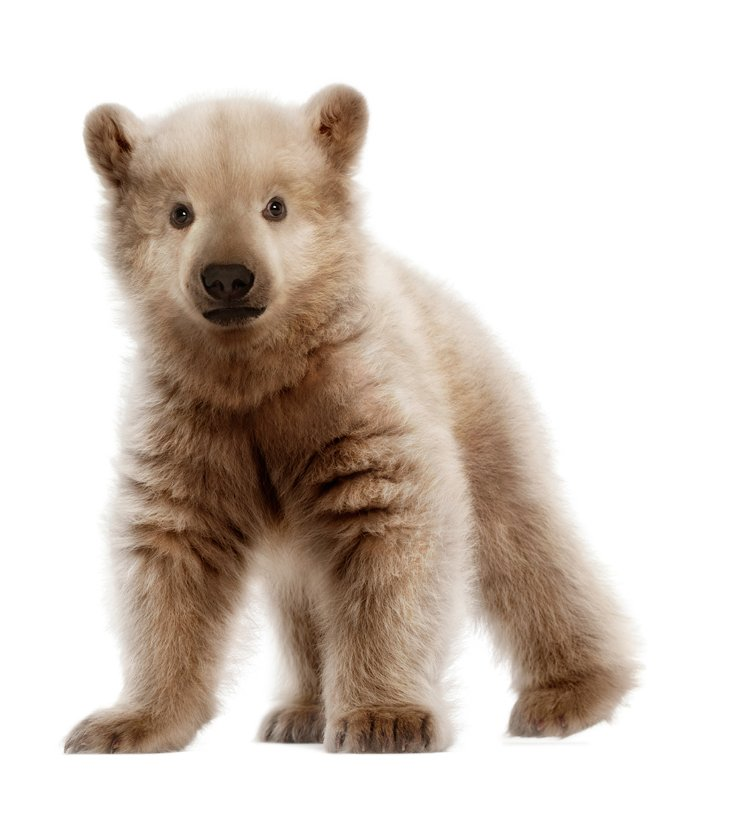 Grolar bear - photo#19