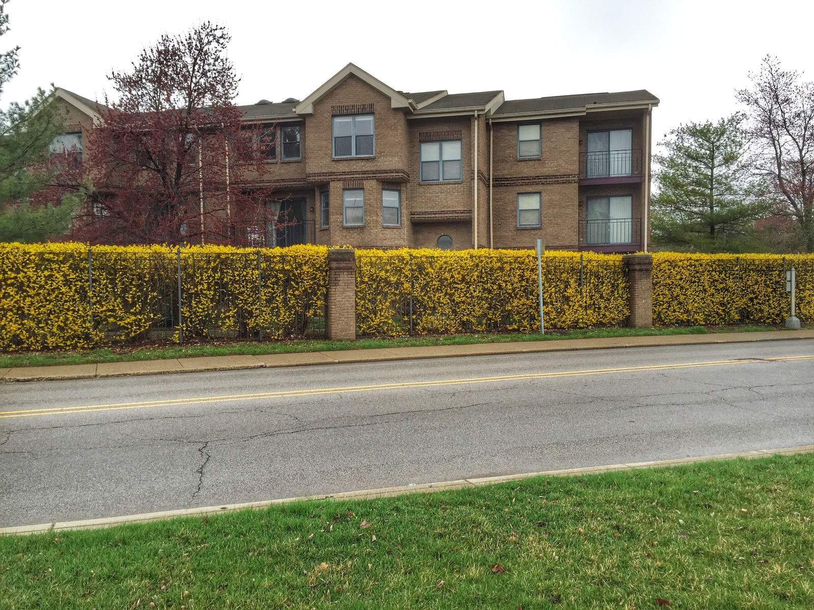 Forsythia x intermedia yellow flower hedge