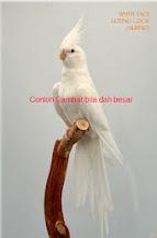 Cockateil Albino Jinak