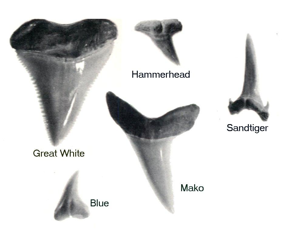Great Hammerhead Shark Teeth