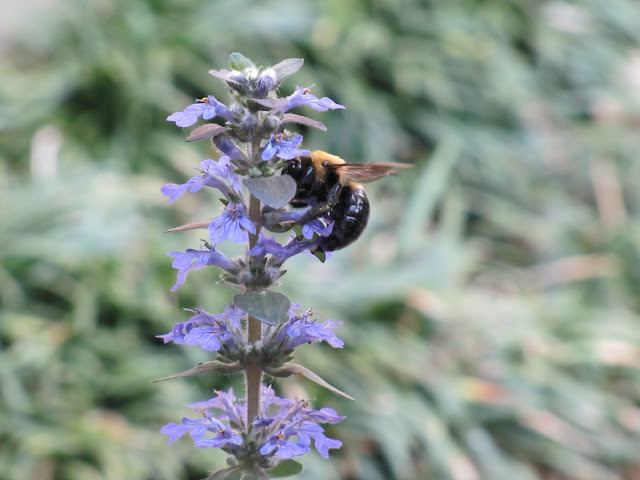 bumblebee gathering pollen from flowering sage