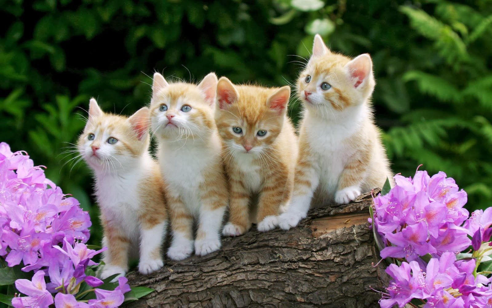 """<img src=""""http://1.bp.blogspot.com/-p2tbZNnAXqk/UukH1Yv43FI/AAAAAAAAKkU/VJdeneGeEdk/s1600/cute-kittens-wallpaper.jpg"""" alt=""""cute kittens wallpaper"""" />"""
