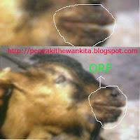 gambar penyakit ORF pada kambing