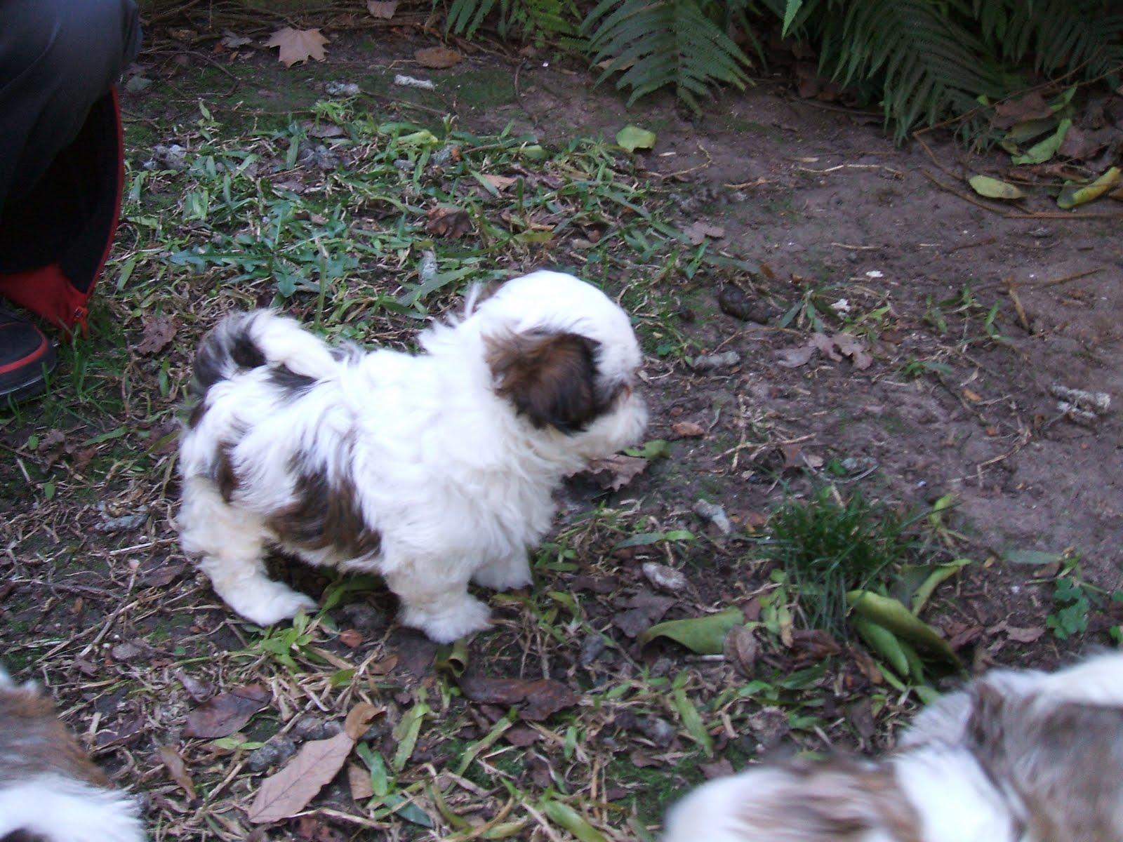 Blog de Perros Miniaturas: Cachorros Shih Tzu