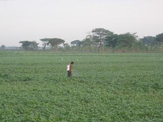 Petani menyemprot pembasmi hama pada tanaman kacang hijau