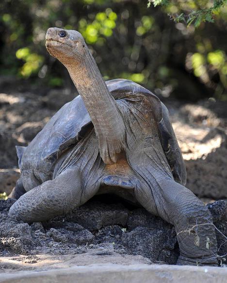 Giant Galapagos Turtoise, Kura-kura terbesar