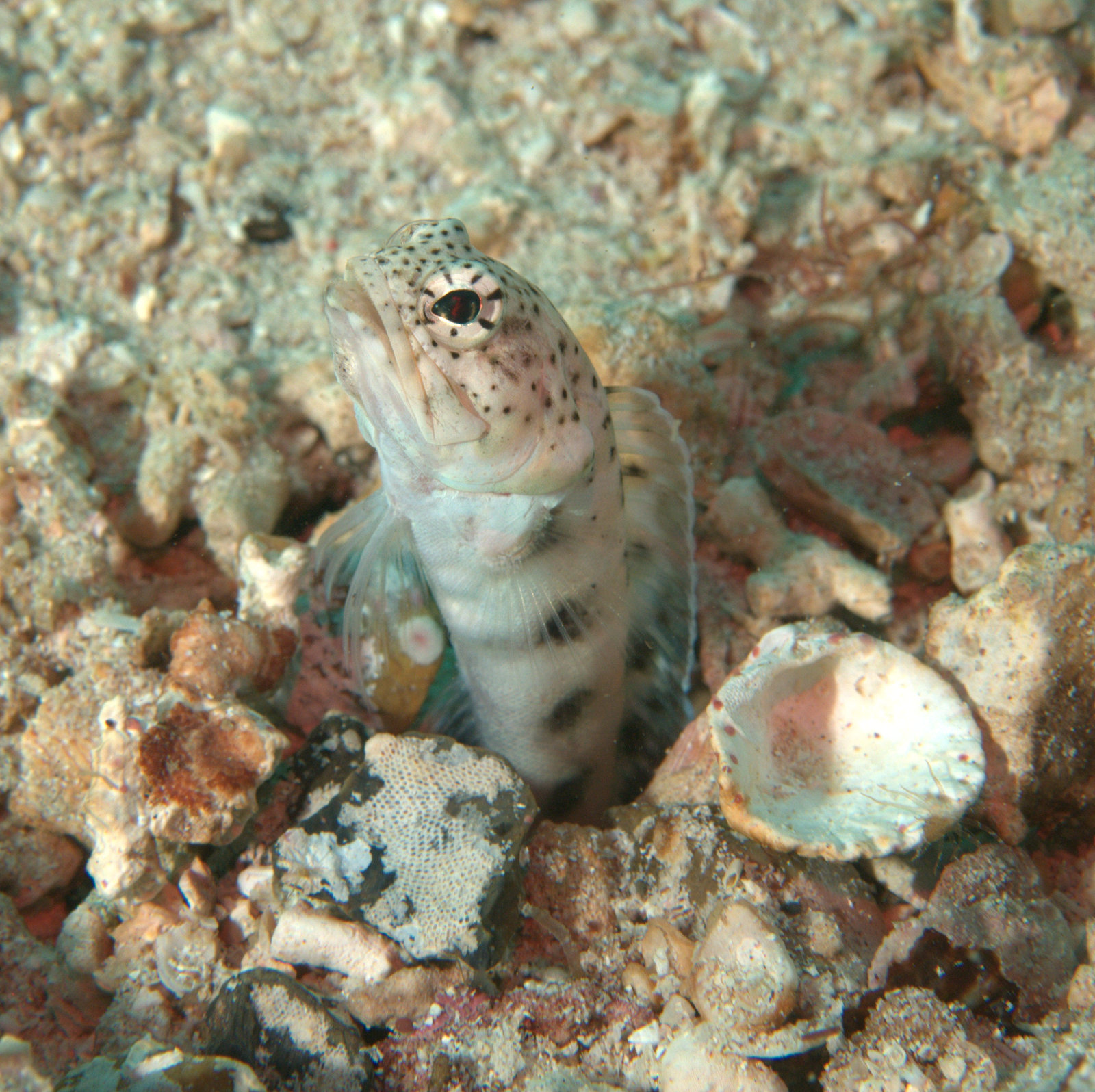 under pressure world: Finespotted Jawfish- Sea of Cortez, MX