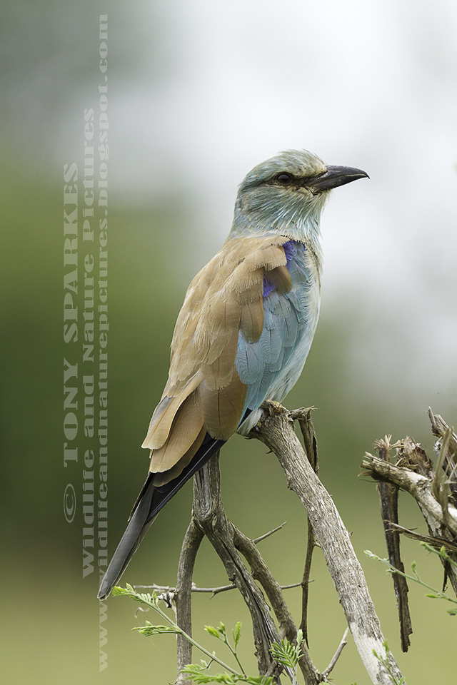 Picture of a European Roller (Coracias garrulus) perched on a branch