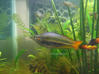 Melanotaenia trifasciata banded rainbow profile for Rainbow fish care